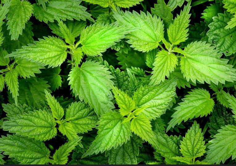 Пряжа из растений: крапива. Крапивная пряжа. Плюсы, минусы и что можно из неё связать